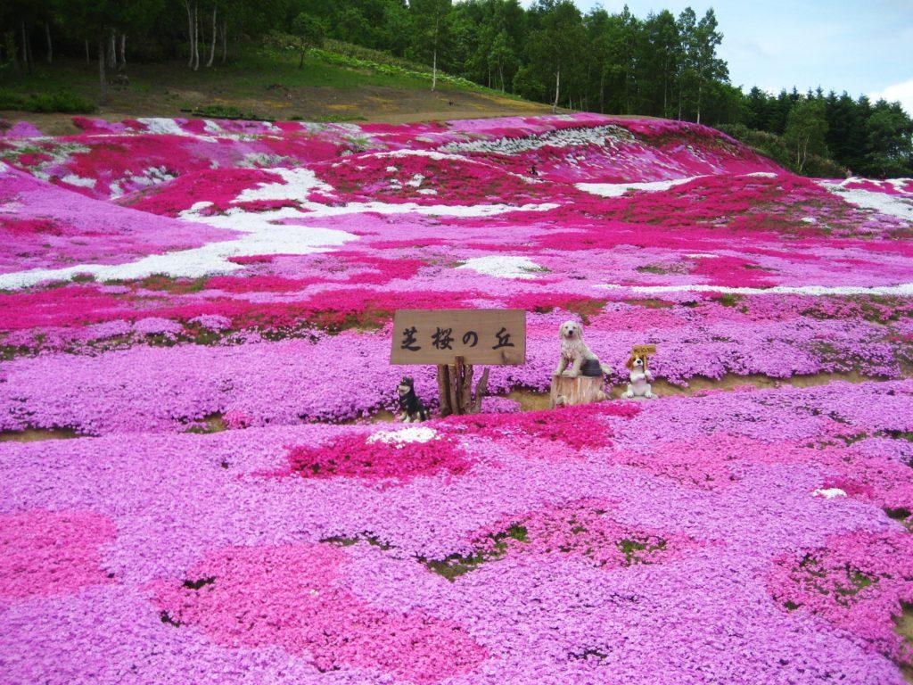 倶知安町の芝桜